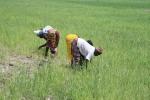 Malawian women weeding
