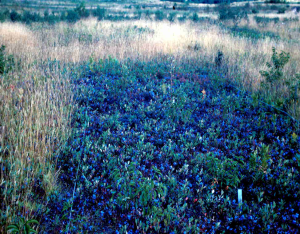 Herbicide sprayed blueberry field surrounded by weeds