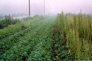 Peanut field where herbicides have been sprayed on left side; right side overtaken by weeds
